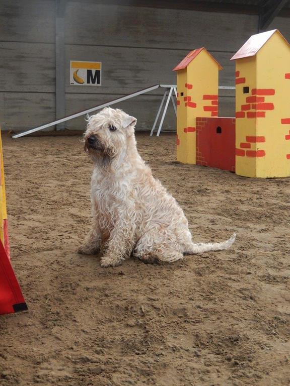 Wheaten terrier van klein naar groot