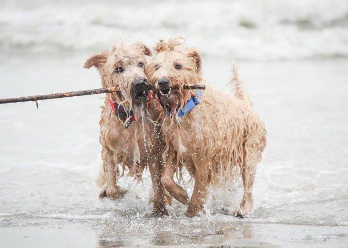 Irish softcoated wheaten terrier Wheatenlove