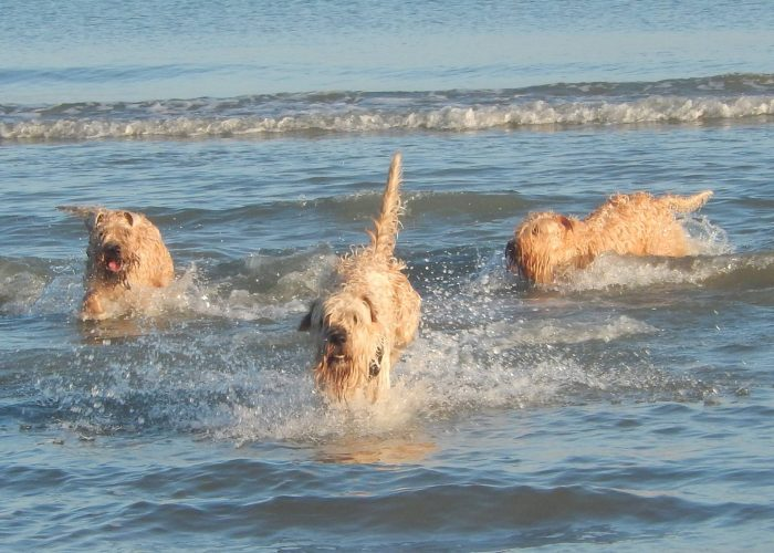 Irish softcoated wheaten terrier wheatenlove zwemmen swim