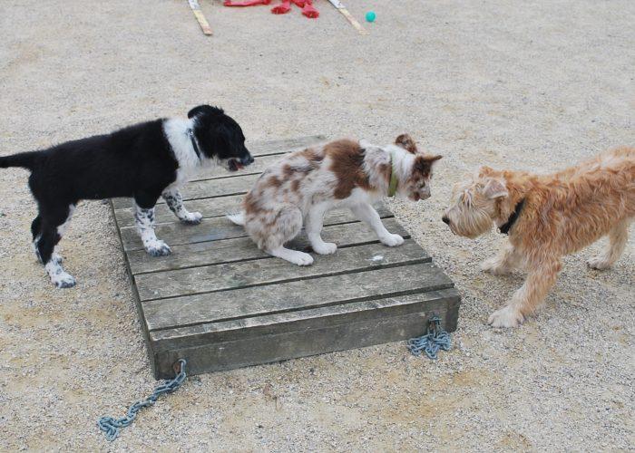 Wheatenlove Naughty Norah spelen met andere honden