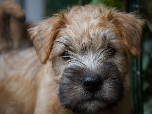 Irish softcoated wheaten terrier pups gepland