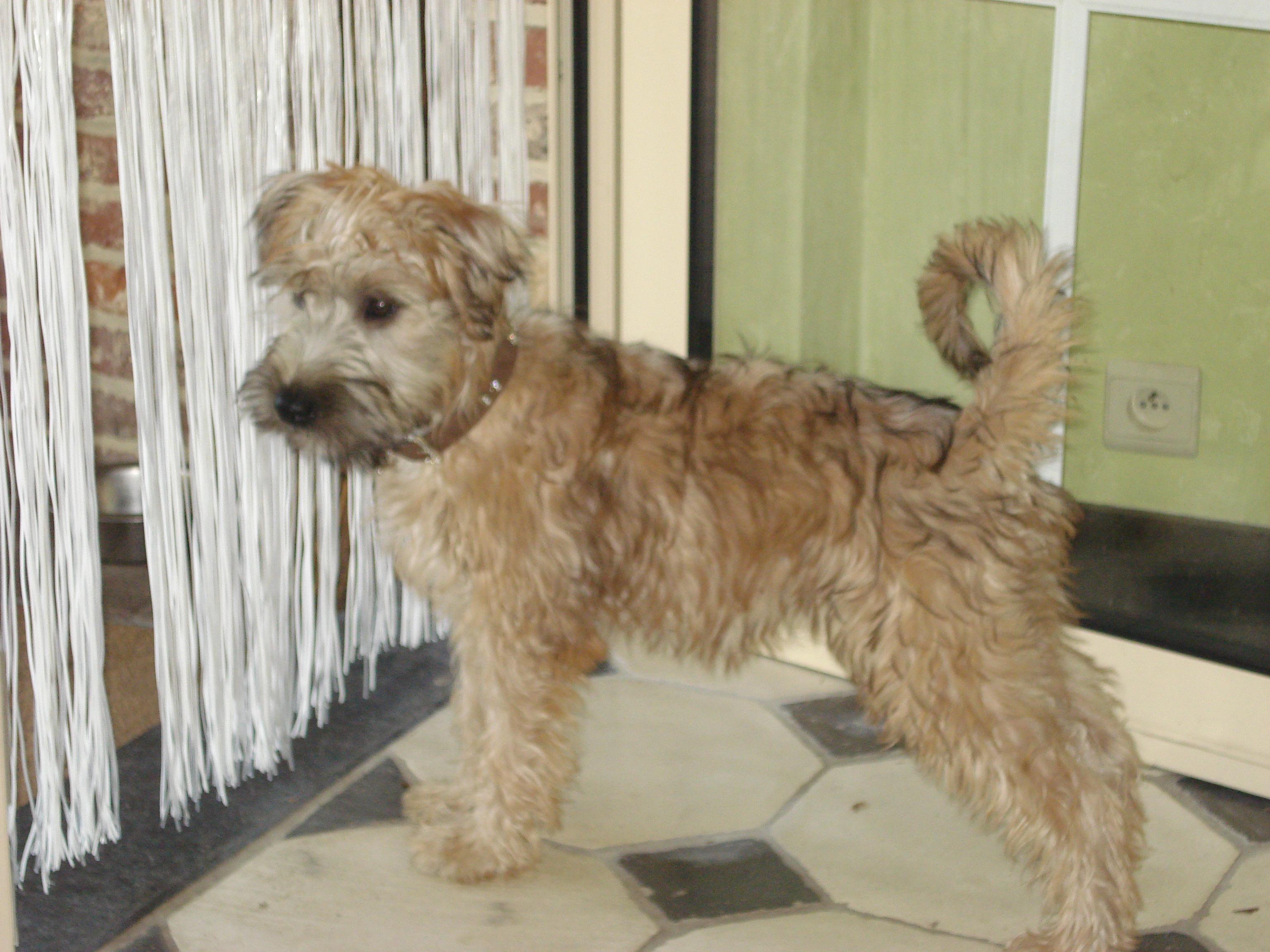 Irish softcoated wheaten terrier 6 maand