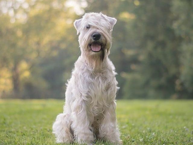 Irish softcoated wheaten terrier Roy