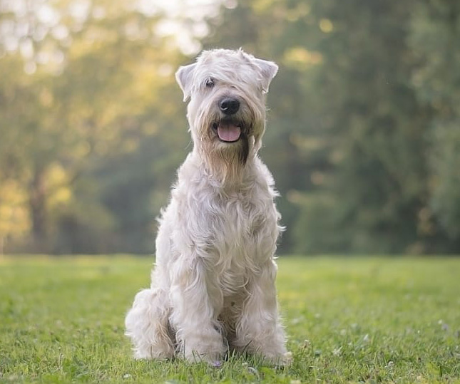Irish softcoated wheaten terrier Roy