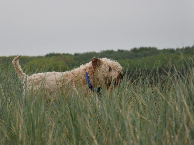 Irish Soft coated wheaten terriër pups