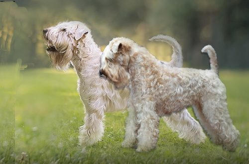 Irish softcoated wheaten fokker