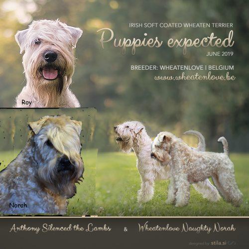 Succesvolle mating met Norah en Roy Irish softcoated wheaten terrier