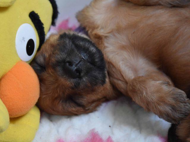 Irish softcoated wheaten terrier puppy